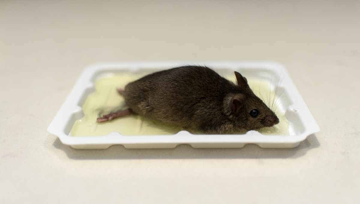 Can You Reuse Mouse Glue Traps